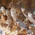 Collection of preparated birds - 02.jpg