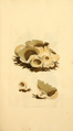 Coloured Figures of English Fungi or Mushrooms - t. 4.png