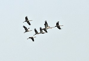English: Common Cranes (Grus grus) at Sultanpu...