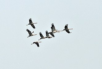 Group size measures - A group acts as a social environment of individuals: a flock of nine common cranes.