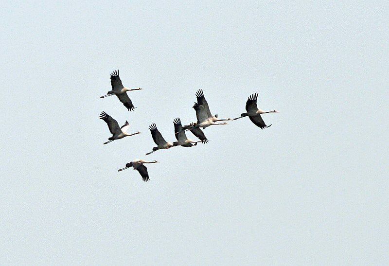 Common Cranes (Grus grus) at Sultanpur I Picture 076