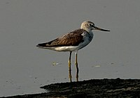 Common Greenshank Tringa nebularia by Dr. Raju Kasambe DSC 2148 (1).jpg