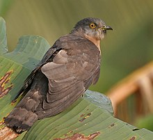 Common Hawk Cuckoo (Hierococcyx varius) on a Banana leaf at Narendrapur W IMG 4096.jpg