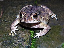 Common Indian Toad by irvin calicut.jpg