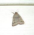 Common Oak Moth (Phoberia atomaris) - Flickr - Jay Sturner.jpg