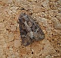 Common Rustic agg. (37958380554).jpg