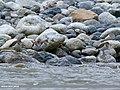 Common Sandpiper (Actitis hypoleucos) (27649616372).jpg
