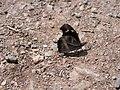 Common beak Chikmagalur 1.jpg