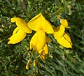 Common broom (upclose).jpg