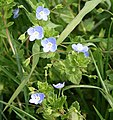 Common field speedwell, Veronica persica - geograph.org.uk - 415359.jpg