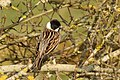 Common reed bunting (Emberiza schoeniclus) male summer plumage.jpg