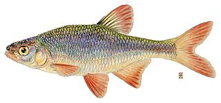 Common shiner species of fish