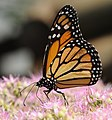ComputerHotline - Danaus plexippus (by) (3).jpg