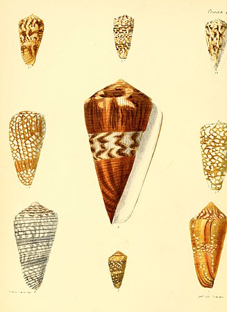 Conchologia iconica, or, Illustrations of the shells of molluscous animals (Conus, Plate 1) (6030071094).jpg