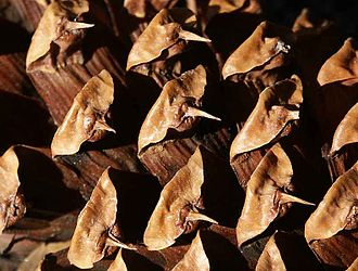 Bristlecone pine - The eponymous bristles