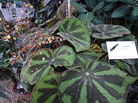 Conservatoire du bégonia 2015. Begonia variegata.JPG
