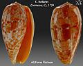 Conus bullatus 5.jpg