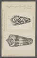 Conus gubernator - - Print - Iconographia Zoologica - Special Collections University of Amsterdam - UBAINV0274 085 10 0066.tif