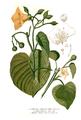 Convolvulaceae spp Blanco clean.png