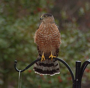 Cooper's Hawk on feeder