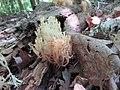 Coral Mushroom.jpg