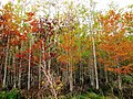 Corkscrew - pond cypress.jpg