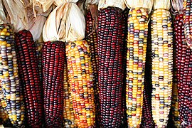 Maize cobs in different colours