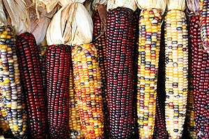 Various cultivars of Maize cobs