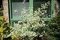 Cornus alba Argenteomarginata 2zz.jpg
