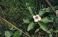 Cornus canadensis (3749608063).jpg