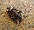 Coronet. Craniophora ligustri - Flickr - gailhampshire (1).jpg