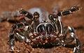 Corsican Trapdoor Spider (Cteniza sauvagesi) (17208729455).jpg