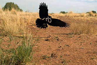 Remote camera - Photo of a Chihuahuan raven catching a snake, taken using a remote motion-sensor camera located in the Sevilleta National Wildlife Refuge.