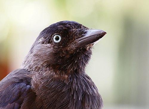 Corvus monedula portrait