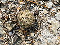Coryphantha cornifera (5780604288).jpg