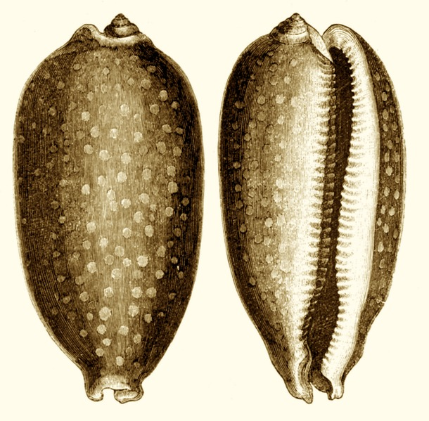 Cowry Shells (shell money), Full-grown Cowry