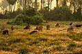 Cows grazing chennai.jpg