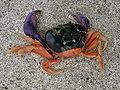 Crab on Panamanian Beach 01.jpg