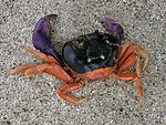 Crab on Panamanian Beach 01.jpg