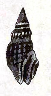 <i>Crassispira nigerrima</i> Species of gastropod