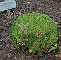 Crassula setulosa A.jpg