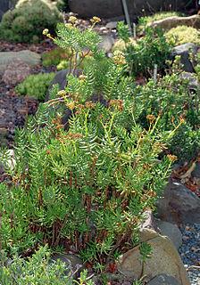 <i>Crassula tetragona</i> species of plant