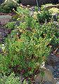 Crassula tetragona - plants (aka).jpg