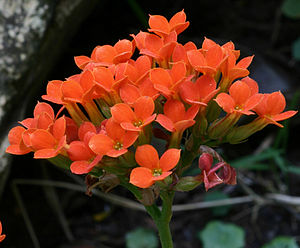Crassulaceae kalanchoe flowers