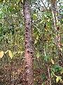 Cratoxylum formosum Le tronc, Laos.jpg