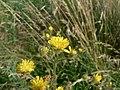 Crepis setosa inflorescence (03).jpg
