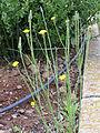Crepis vesicaria Habitus 2010-5-08 DehesaBoyaldePuertollano.jpg