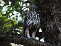 Crested Hawk Eagle4.jpg