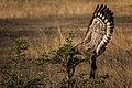 Crested serpent eagle - (Spilornis cheela) 1.jpg