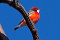 Crimson Chat (Epthianura tricolor) (8079666058).jpg